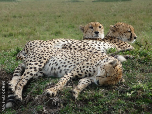 Fotografie, Obraz  berühmt, berüchtigtes Geparden-Trio ruht sich aus