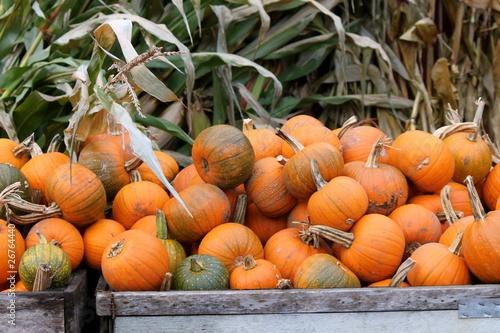 Valokuva  Pumpkins and Corn Stalks