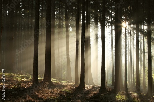 Foto auf Acrylglas Wald im Nebel Misty coniferous forest backlit by the rising sun