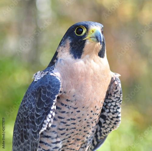 Photo  Peregrine Falcon close up