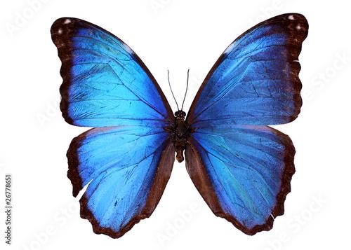 Fotografie, Obraz  Blue Morpho butterfly (Morpho godarti)