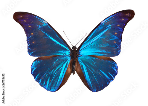 Fototapeta  Blue Morpho butterfly (Morpho retenor) from South America.