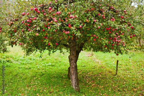 Fotografia, Obraz Apple trees orchard