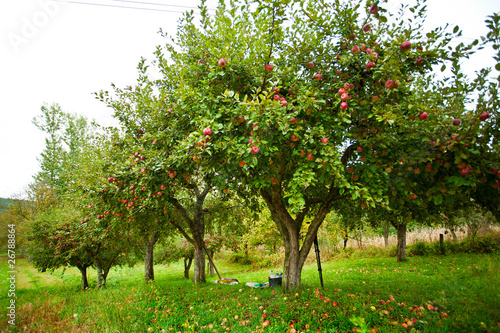 Leinwand Poster Apple trees orchard