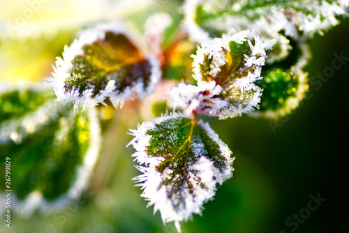 Fotografia leaves covered with morning frost in late autumn