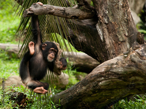 Photo Young Baby Chimpanzee