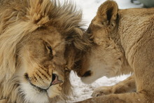 Love's Secret.  Lion And Lionn...