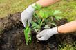canvas print picture - Ginkgo pflanzen - ginkgo planting 01