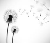 Fototapeta Dmuchawce - Dandelion Wind Blow Flower