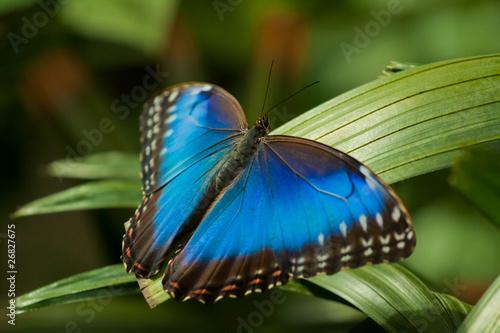 Valokuvatapetti Blue Morpho Butterfly