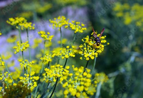 Fotografie, Obraz  Une abeille butine.