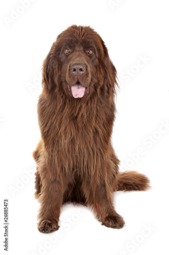 Fotomural Brown Newfoundland dog isolated on white