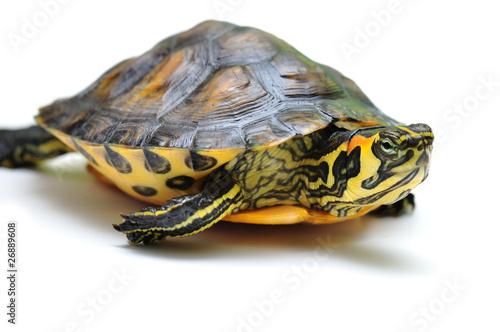Poster Tortue Gelbbauch-Schmuckschildkröte