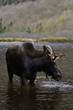 vertical male moose