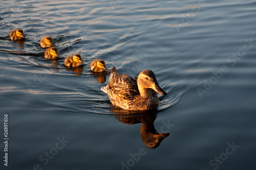 Photo  Mother mallard and her family of ducklings