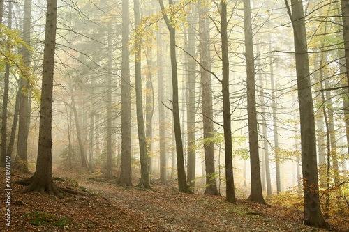 Papiers peints Foret brouillard Misty autumn beech forest on the slope in a nature reserve