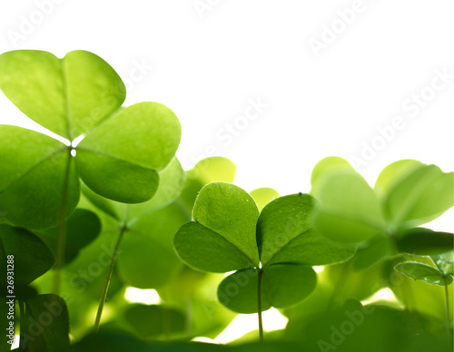 Fotografía  Clover plant macro shot, isolated on white background.
