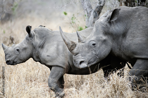 Poster Rhino Mother and baby Rhino