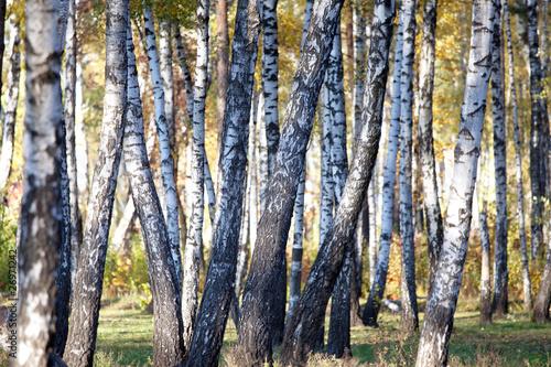 Spoed Fotobehang Berkbosje Autumn brich, background.