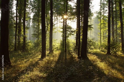Papiers peints Foret brouillard Sunlight falling into the misty spring forest at dawn