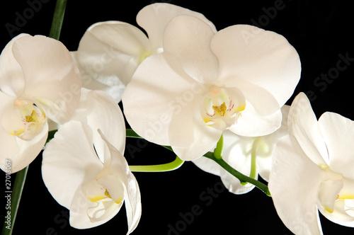 Naklejka premium biały storczyk