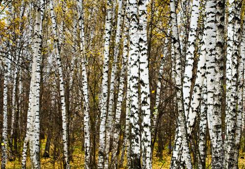 Spoed Fotobehang Berkbosje birch grove