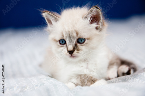 Fotografie, Obraz  Chaton aux yeux bleus et au pelage clair, sur un lit