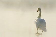 Beautiful Swan Standing On Frozen Lake At Dawn