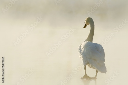 Foto op Canvas Zwaan Beautiful swan standing on frozen lake at dawn