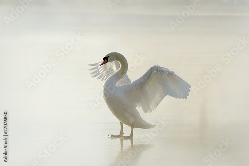 Fotobehang Zwaan Beautiful swan standing on frozen lake at dawn