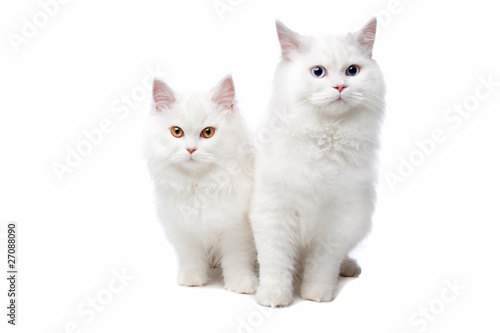Foto auf Acrylglas Katze two White cats with blue and yellow eyes