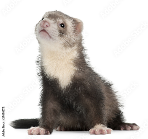 Fotografering  Ferret, 3 months old, sitting in front of white background