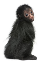 Red-faced Spider Monkey, Ateles Paniscus, 3 Months Old