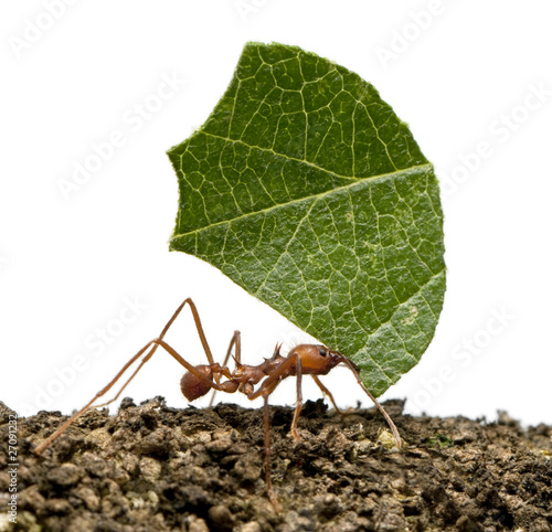 Leaf-cutter ant, Acromyrmex octospinosus, carrying leaf Wallpaper Mural