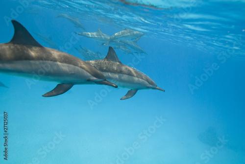 Tuinposter Dolfijn Swimming Spinner dolphins.