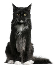 Maine Coon Cat, 15 Months Old, Sitting