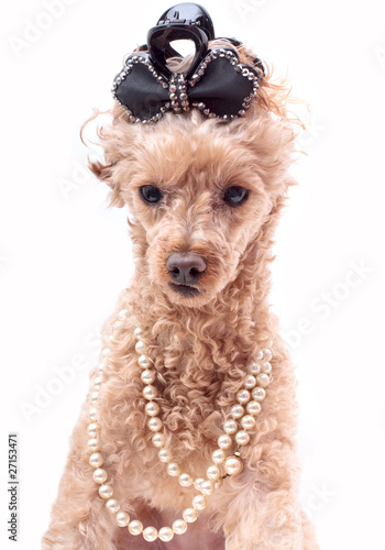 Dog In Pearls Poster