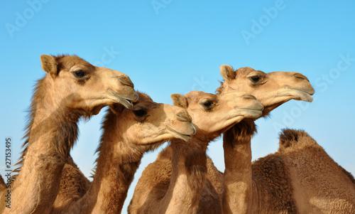 Keuken foto achterwand Kameel Kamele