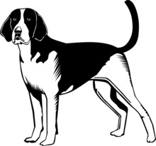 Black And White American Fox Hound Dog