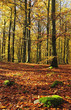 Gold autumn colors in beech forest