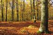 Autumn's beech forest