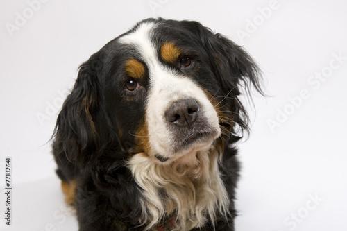 Cadres-photo bureau Chien Berner Sennenhund