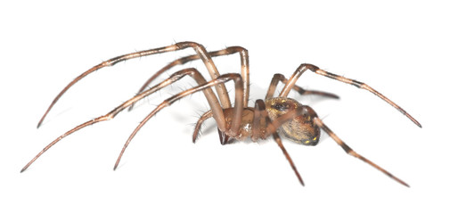 European cave spider (Meta menardi) isolated on white