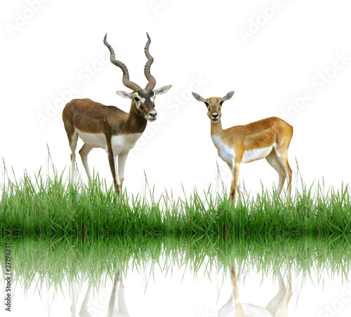 Poster Antilope blackbuck with green grass isolated