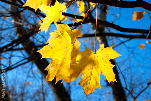 Tuinposter Meloen Yellow mapple leafs on tree