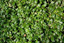Cotoneaster Dammeri (latin Name)