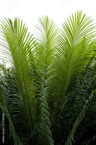 Photo needle-like leaves of cycas