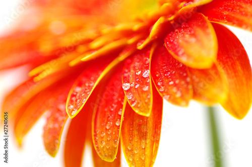 Poster Gerbera Orange gerbera