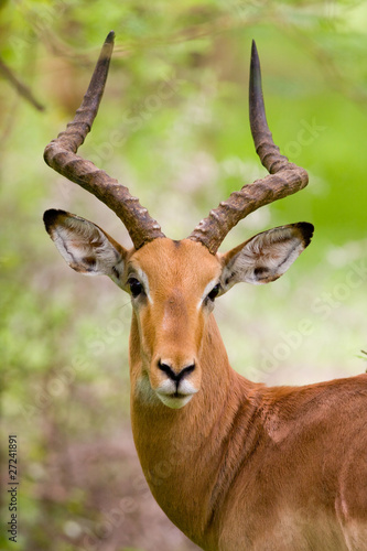 Antelope Gazelle Dama