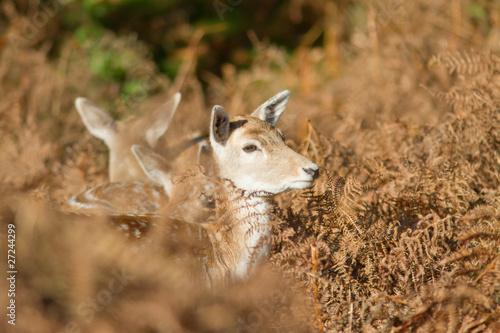 Staande foto Ree young fallow deer in fern